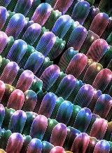 This is a creatively colored SEM image of a Monarch Butterfly's wing segment. Thanks to Ms. Marion Jacob for providing the wing sample.
